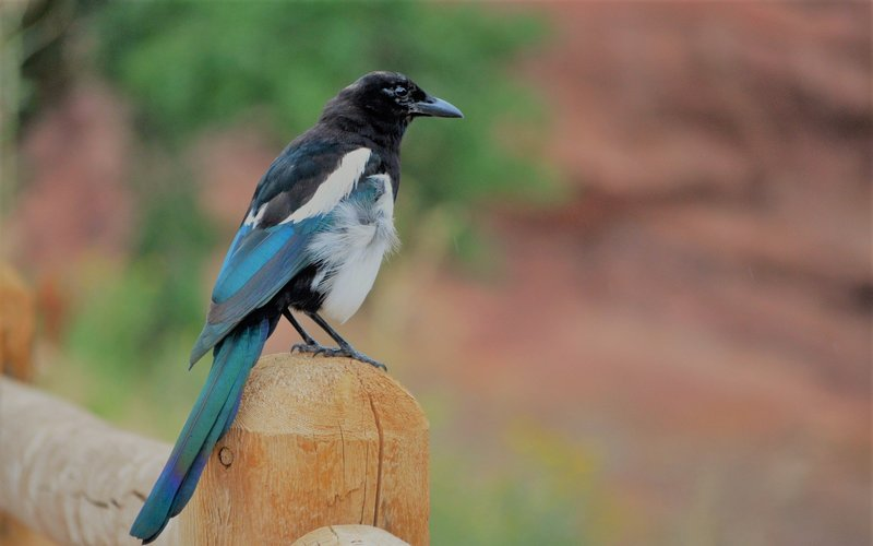 Normal post superstitions magpie